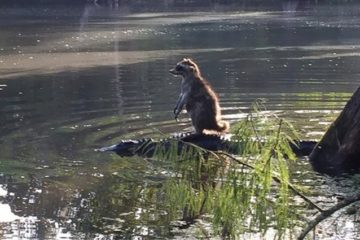 Racoon Riding Alligator Florida
