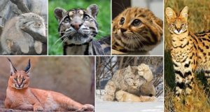 Rare Unusual Species Wild Cat