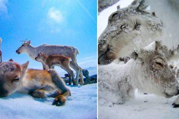Reindeer Camera GoPro