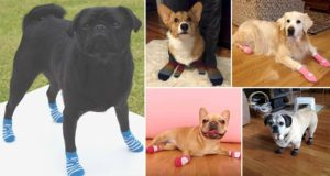 Sock-Wearing Dogs