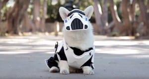 Winston Corgi Wearing Stormtrooper Gear