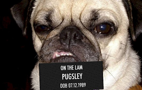animal-mugshots-cute-pugsley