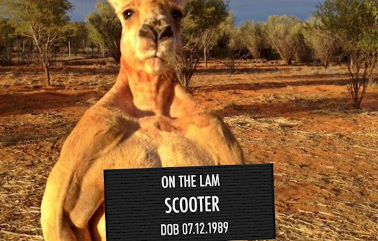 animal-mugshots-kangaroo-scooter