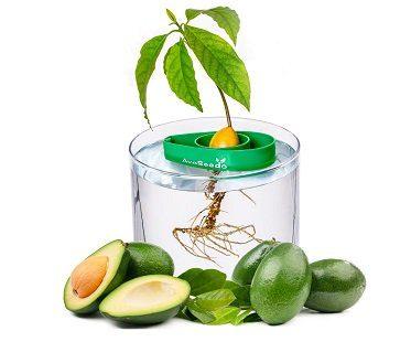 avocado grow bowl