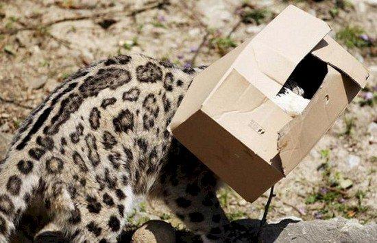 big cat head box