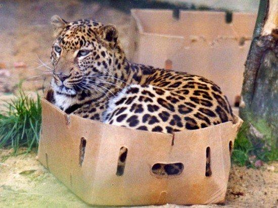 big cat in box