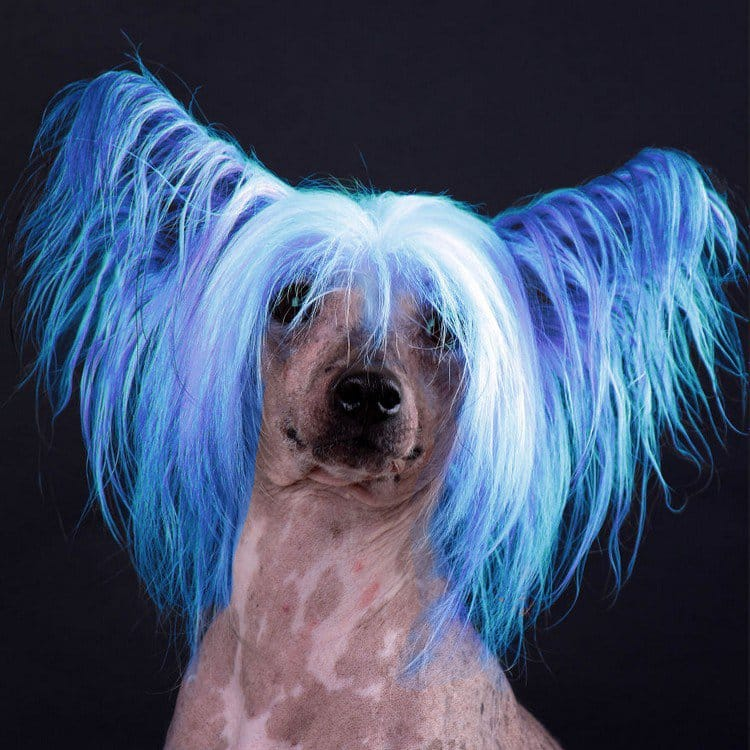 blue hair dog