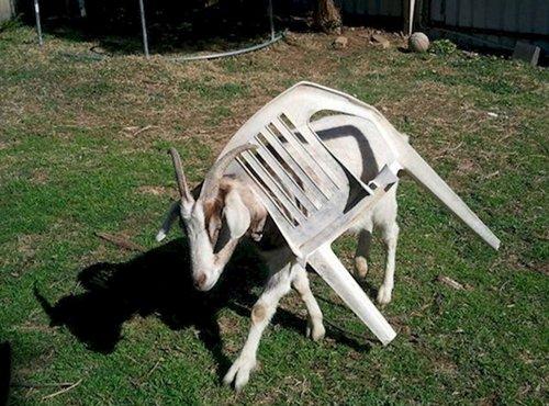 curious-animals-goat