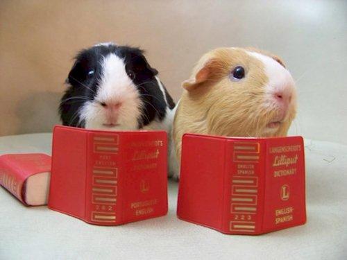 curious-animals-guinea