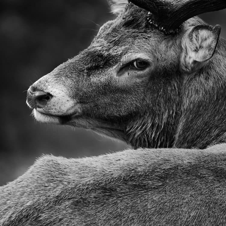 deer-black