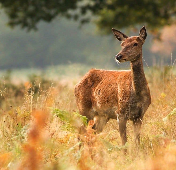 deer-doe