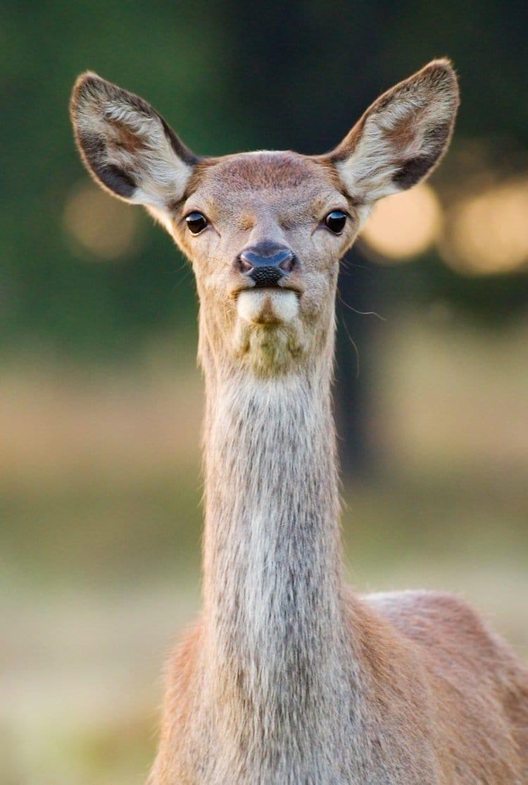 deer-face