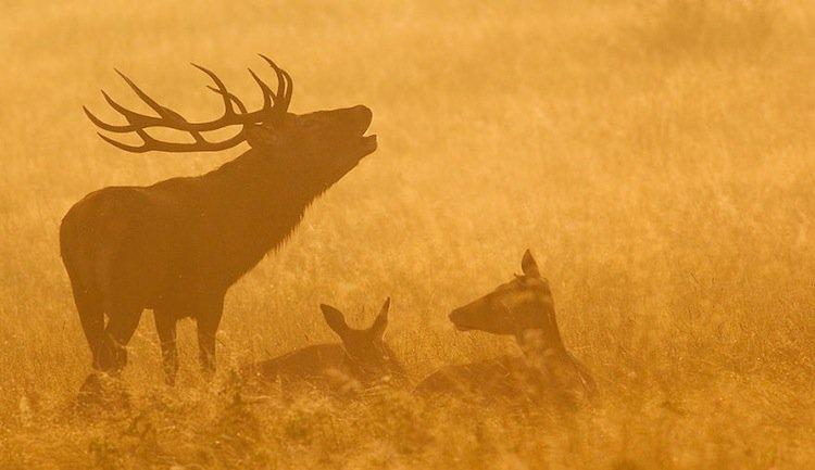 deer-orange