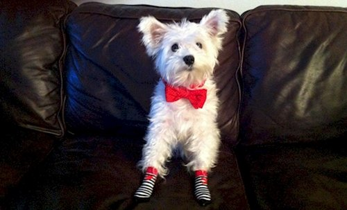 dogs-in-socks-bow