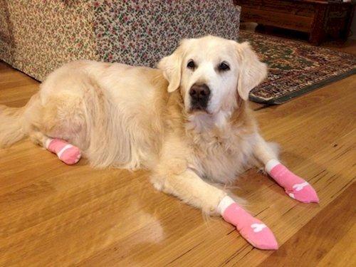 dogs-in-socks-golden