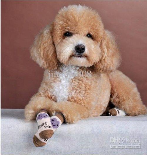 dogs-in-socks-poodle
