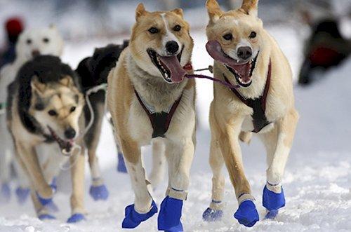 dogs-in-socks-snow