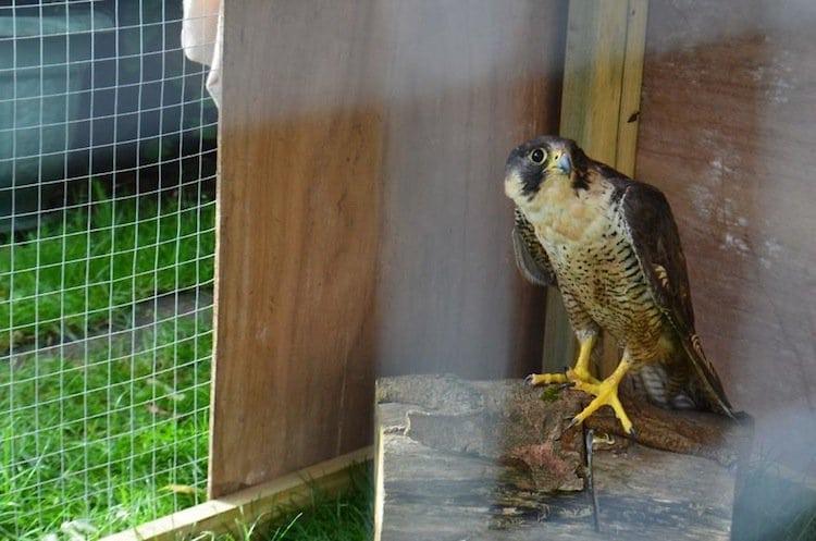 falcon-cage