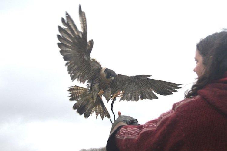 falcon-free