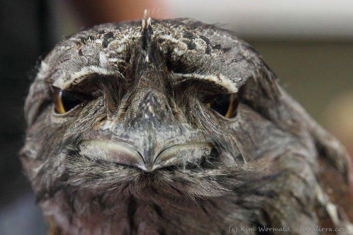 frogmouth-beak