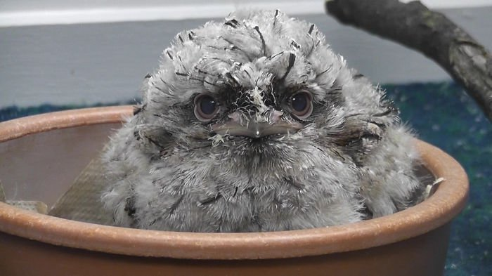 frogmouth-bowl