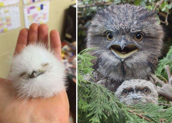 frogmouth-double