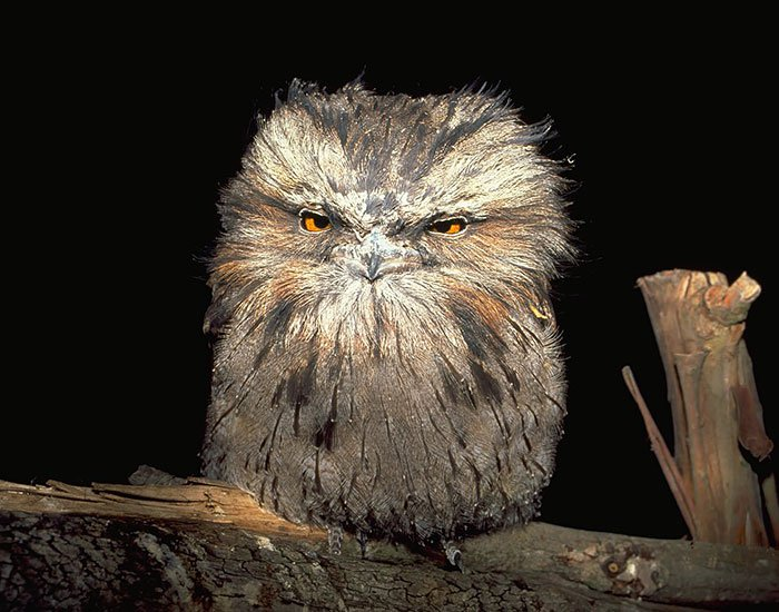 frogmouth-evil
