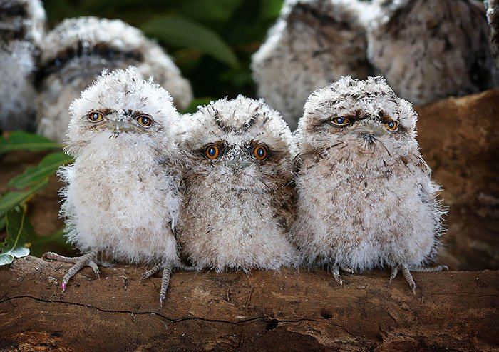 frogmouth-first