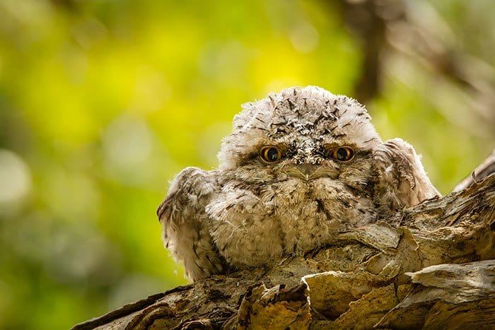 frogmouth-fluffy