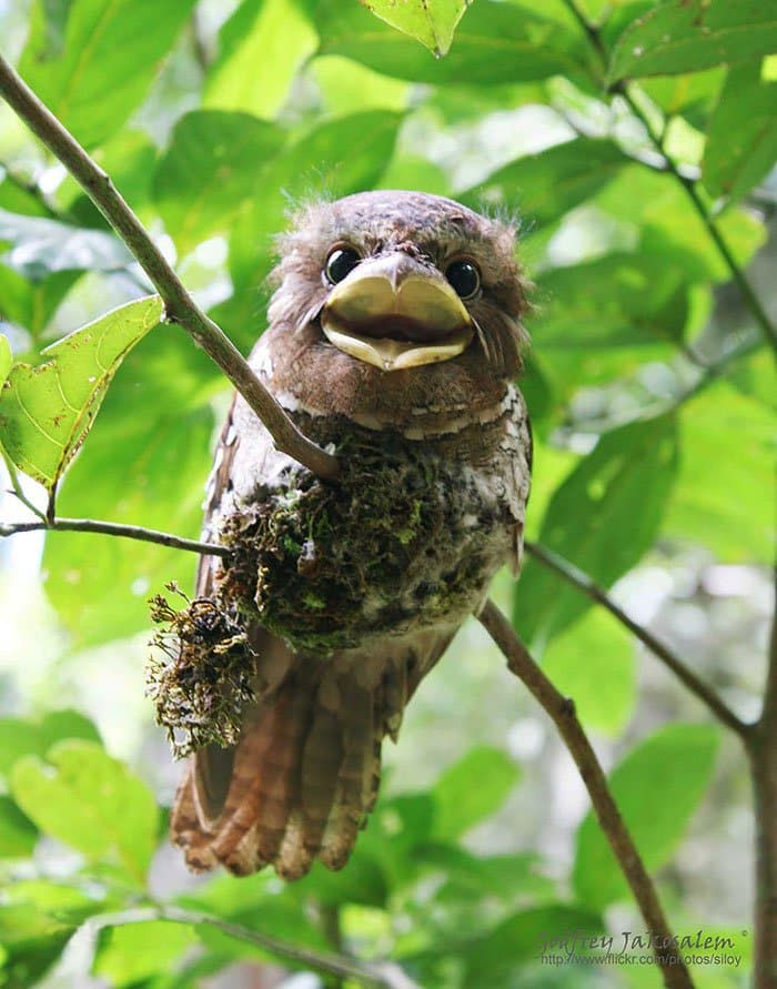 frogmouth-mouth