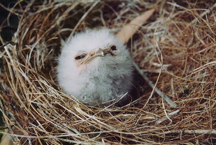 frogmouth-second