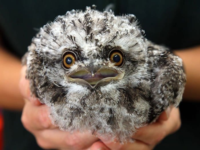 frogmouth-surprised