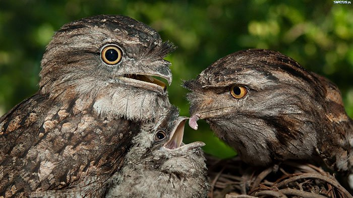 frogmouth-two-two