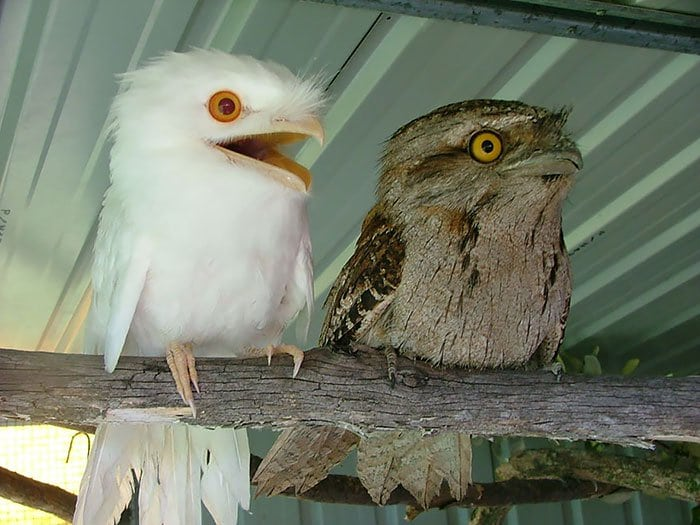 frogmouth-two