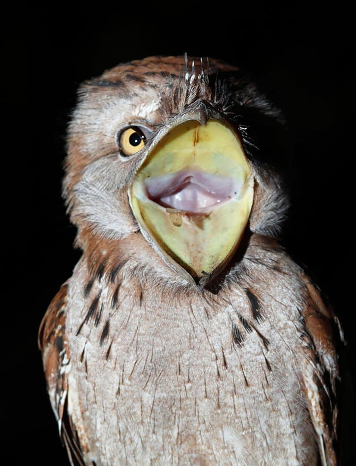 frogmouth-wide