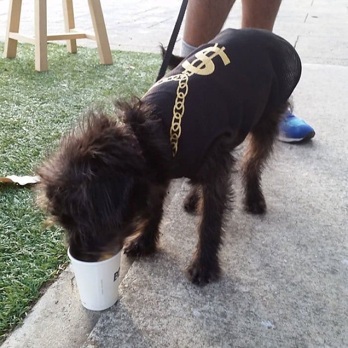 hairy dog drinking