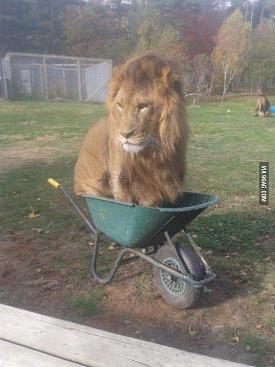 lion wheelbarrow