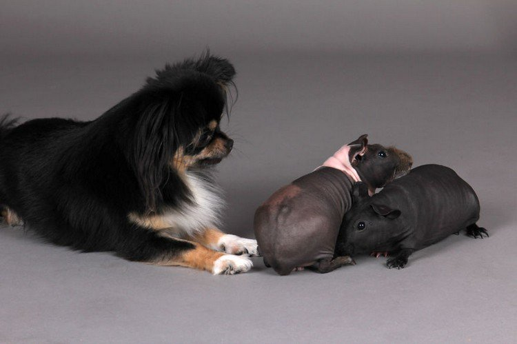 naked guinea pigs dog