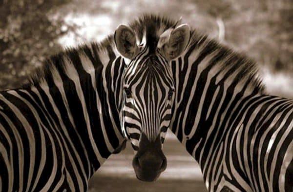 photo-zebra