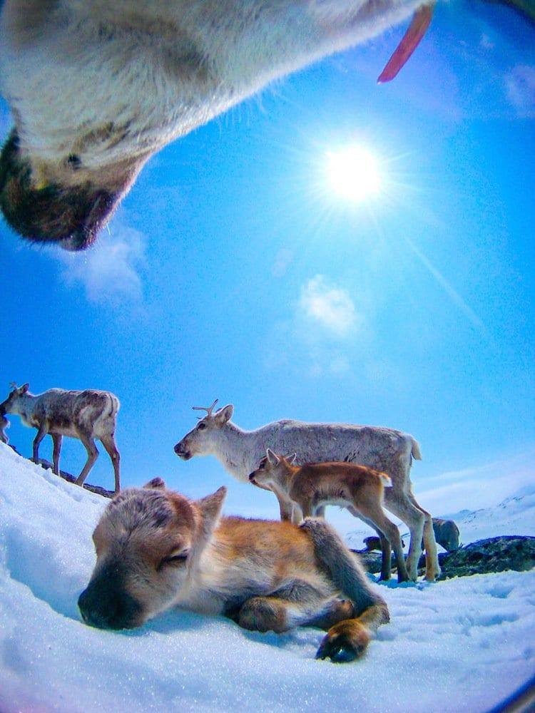 reindeer-calf