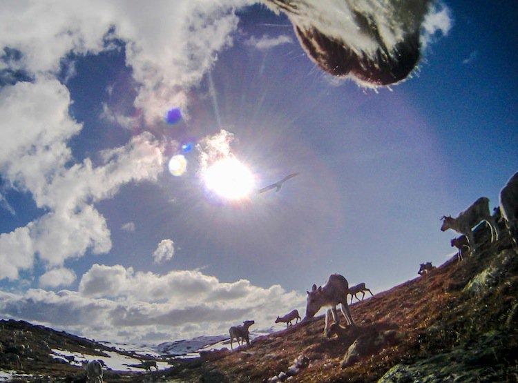 reindeer-eagle