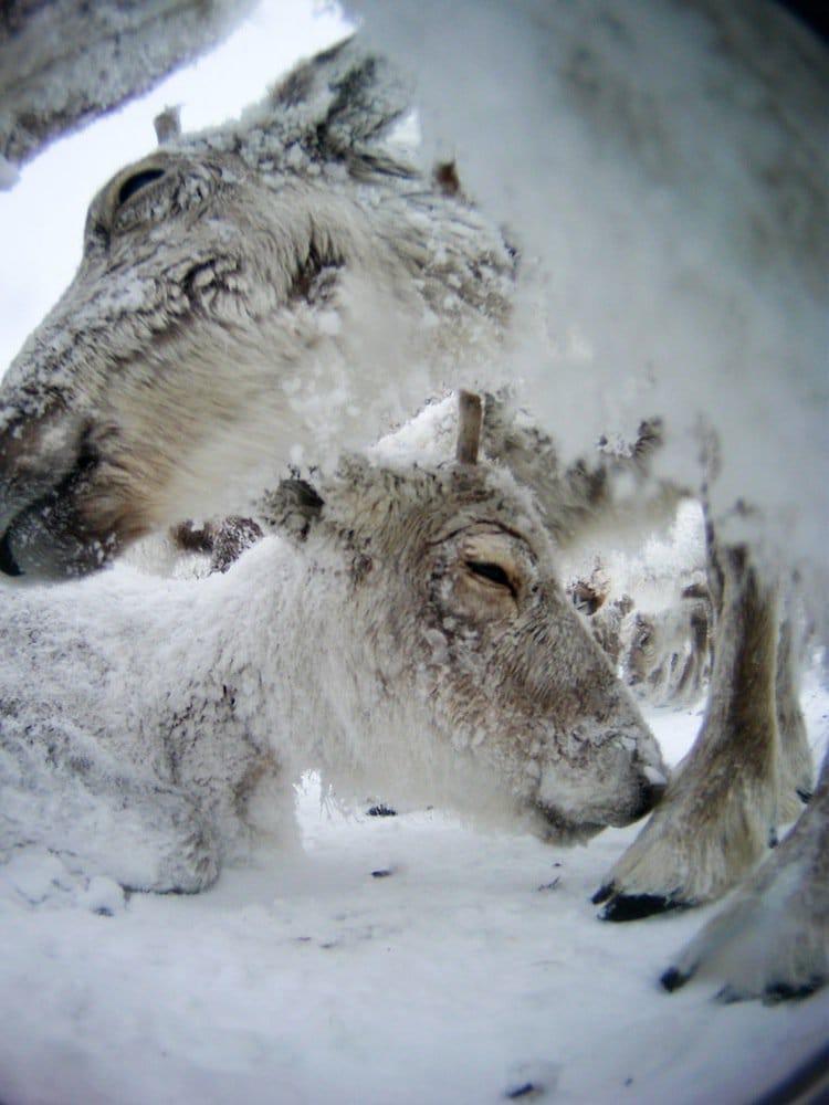 reindeer-snow