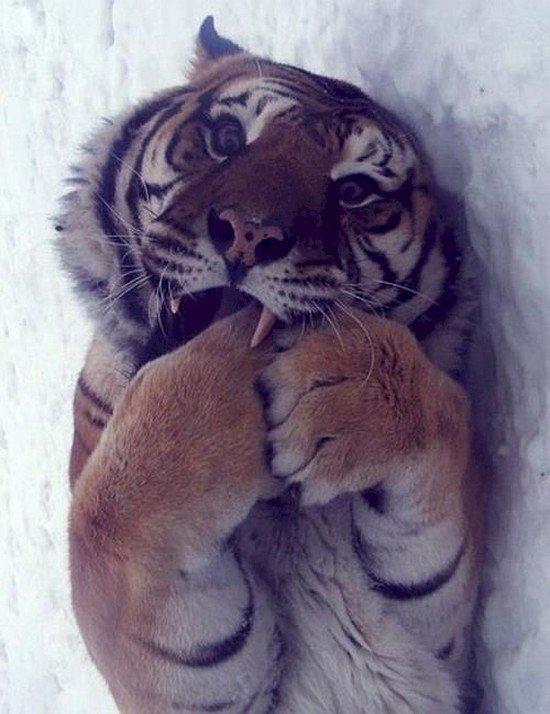 tiger biting paws