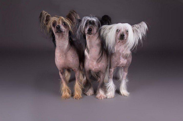 trio dogs