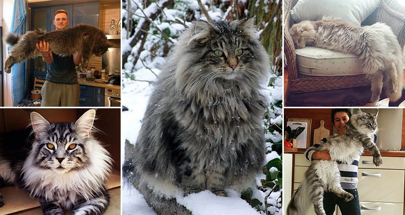 Largest House Cats Maine Coon