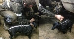 Dog Wears Tool Belt Helps Men