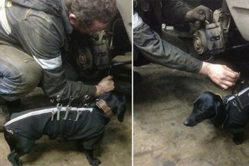 Dog Wears Tool Belt Helps Men