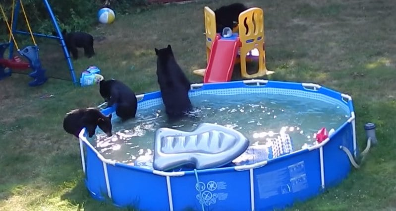 Watch black bears beat the heat at N.J. pool party