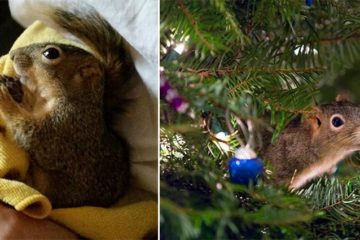 Injured Squirrel Lives Christmas Tree