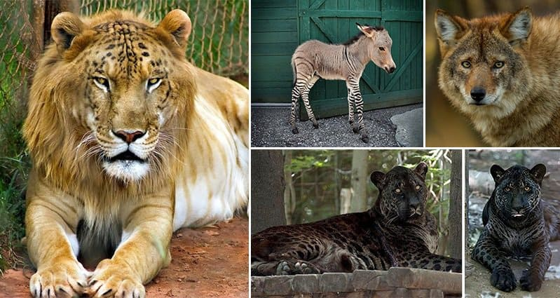 16 Hybrid Animals So Unusual It's Hard To Believe They're Real